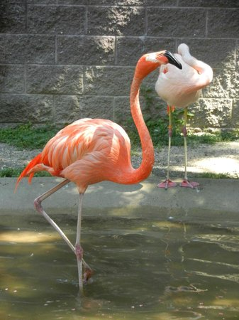 Cape May County Park & Zoo: Handsome flamingos strut about.