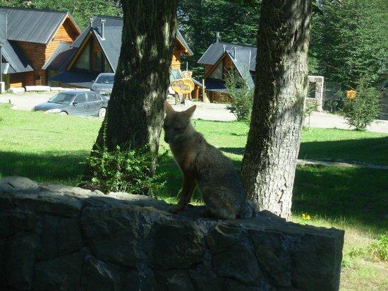 Cabanas Huella Blanca: Un zorro nos visita