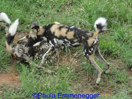 N/a'an ku se Lodge and Wildlife Sanctuary: A few of the wild dogs