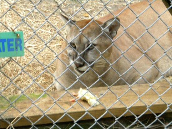 Gatorama: Panther at feeding time