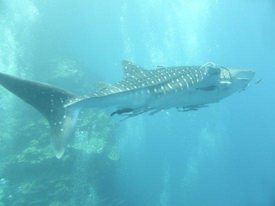 Blue Planet Divers: requin baleine!!!