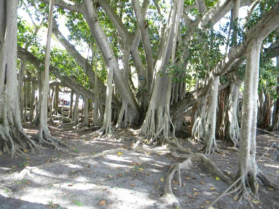 Edison & Ford Winter Estates : The Banyon Tree