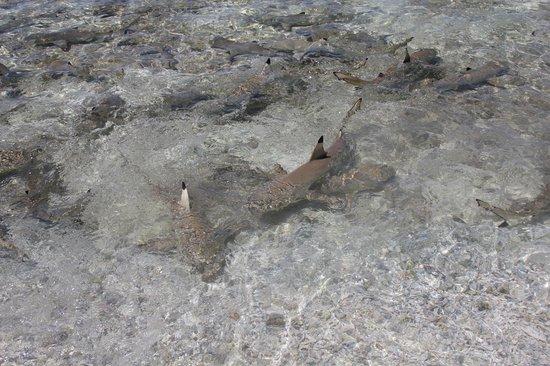Ile aux Recifs: Tubarõezinhos que vem comer os restos do almoço...