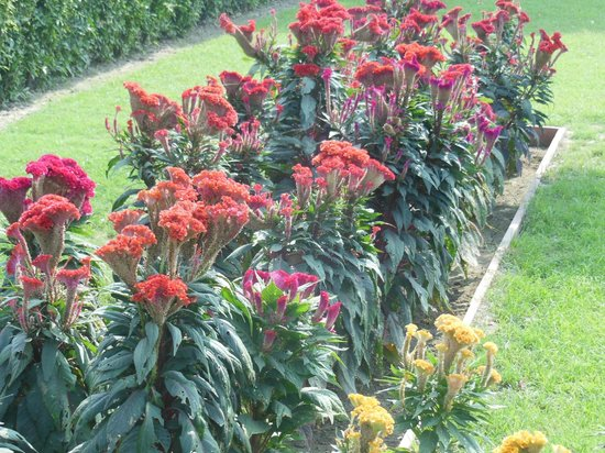 Khwabgah: Cockscomb grows lush and beautiful in the palace gardens