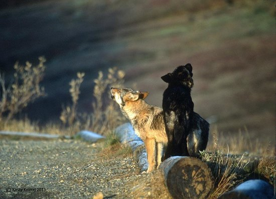 Kantishna Roadhouse: Wildlife in Denali - Howling Wolves