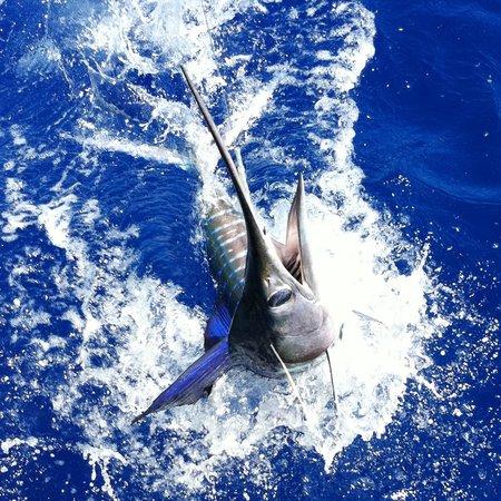 Huntress Sport Fishing: Striped Marlin released
