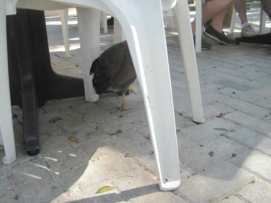 Uncle Joe's Barbecue: Chickens roam freely everywhere