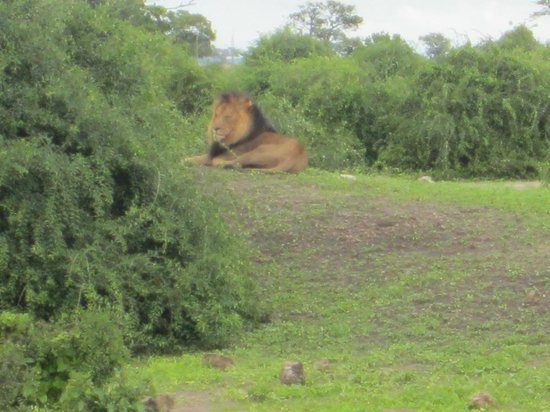 The Old House: Chobe game drive-Lion