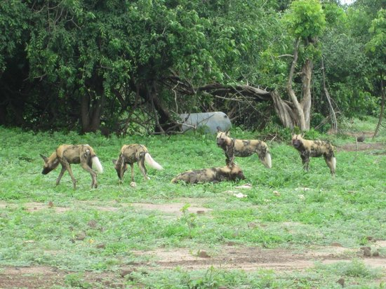 The Old House: Chobe Game Drive- wild dogs