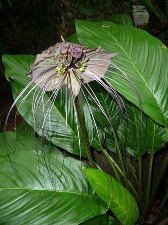 """Khaolak Paradise Resort: """"Bat"""" - schwarze Orchidee im Hotelgarten"""