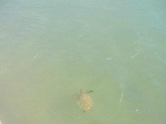 Praia de Manguinhos : Tortugas