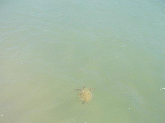 Praia de Manguinhos: Tortugas