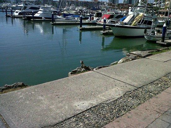 Las Palomas Nima Bay: Iguana at the Marina