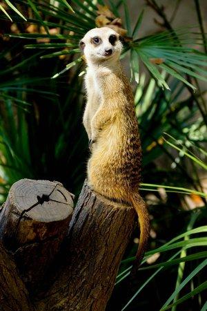 Zoo de Barcelona: Сурика́т в зоопарке