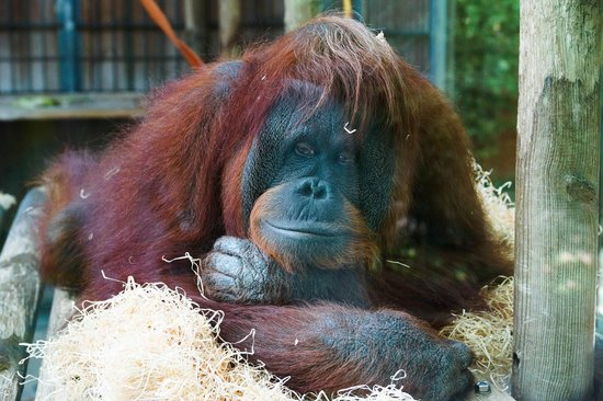 Zoo de Barcelona: Печальный орангунанг