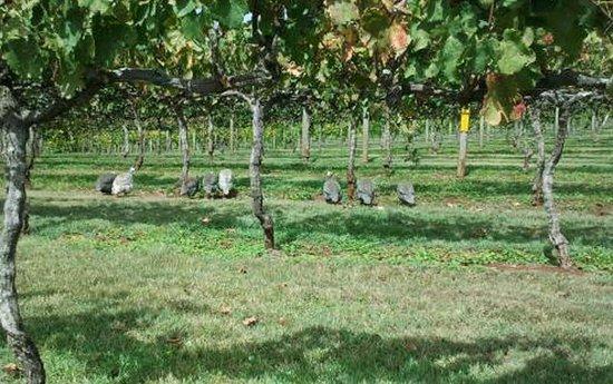 Flame Hill Vineyard: Farmyard birds