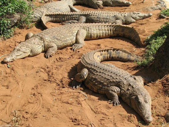 Nairobi Mamba Village: крокодилы греются