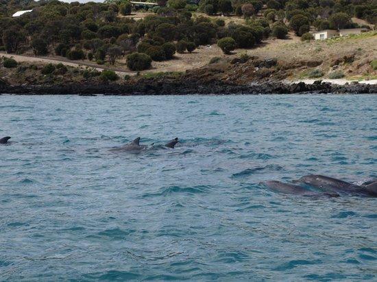 Kangaroo Island Ocean Safari: Dolphin family