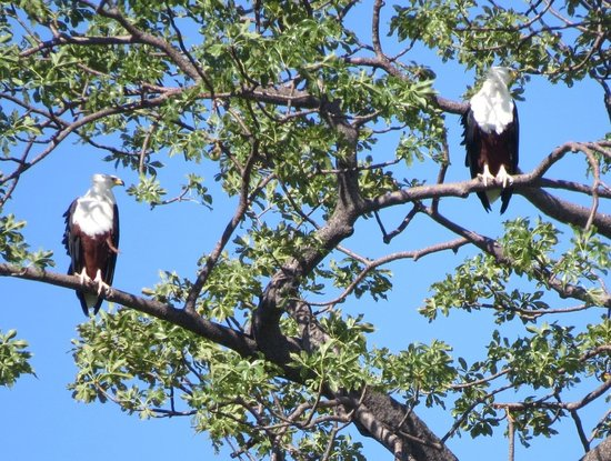 Ulisa Bay Lodge: Pair of Fish Eagles pictured from the Lodge