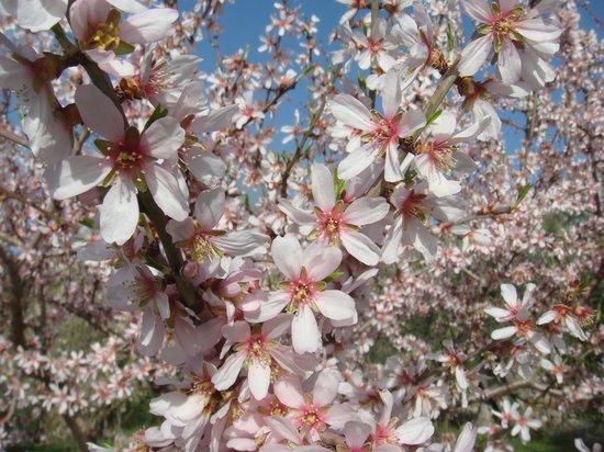 Finca Raims: Mandelblüte