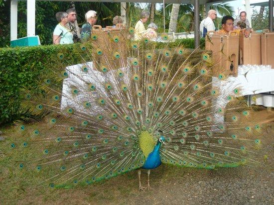 Smith Family Garden Luau: A peacock...lovely