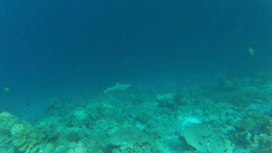 Banyan Tree Vabbinfaru : Le requin...