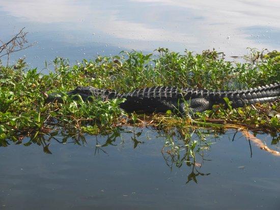 Florida Cracker Airboat Rides & Guide Service : Florida alligator