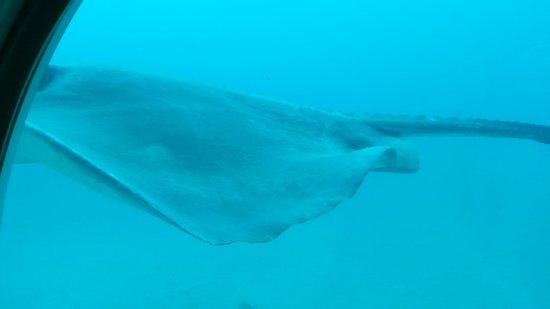 Submarine Safaris Tenerife : La raie