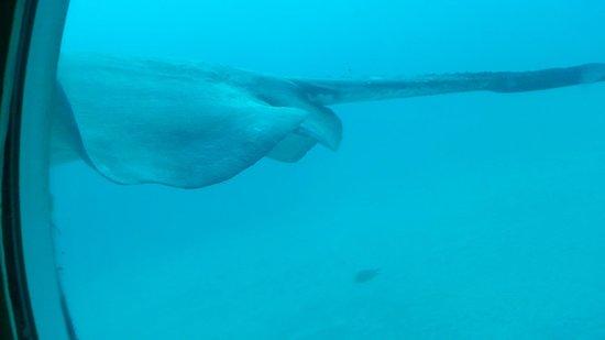 Submarine Safaris Lanzarote Tenerife : La raie