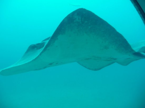 Submarine Safaris Lanzarote Tenerife : La raie majestueuse