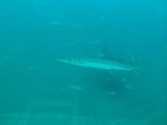 Submarine Safaris : Un barracuda