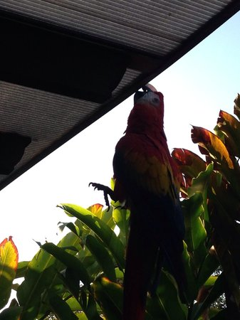Nayara Resort Spa & Gardens: Cirque de Carlotta. Showing off by hanging by her beak. I stood on the railing and she grabbed a