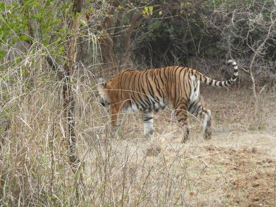 Ranthambore Vatika Resort: tigre