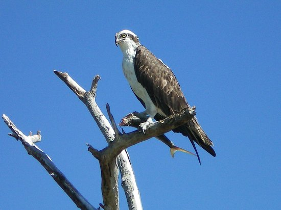 Everglades National Park Boat Tours: Osprey with a Fish
