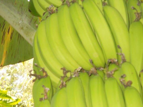 Rocklands Bird Sanctuary: bananas!