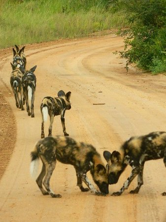 Imbali Safari Lodge: Wild dogs seen on game drive