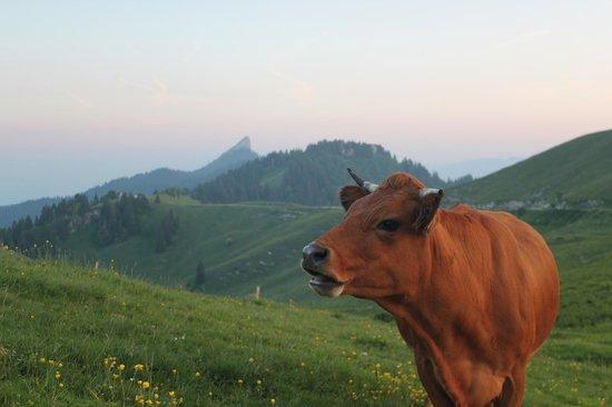 Un soir au Charmant Som avec les vaches près de la bergerie