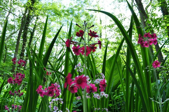 South Walsham, UK : Candelabra primulas