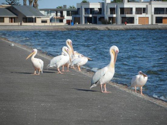 Protea Hotel by Marriott Walvis Bay Pelican Bay: Pelicans