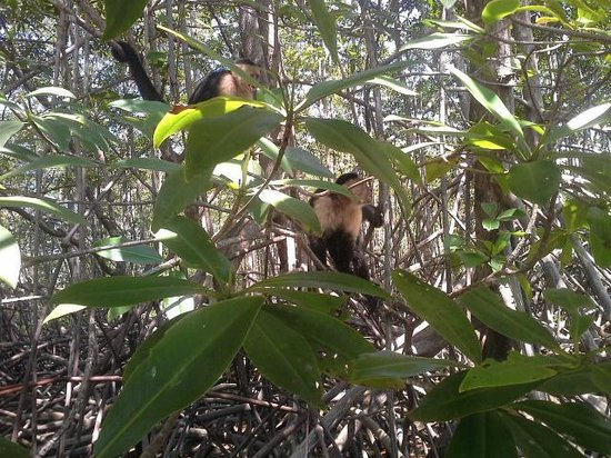 Aventuras Tropicales Golfo Dulce: white-face Capuchin monkey in the Mangroves