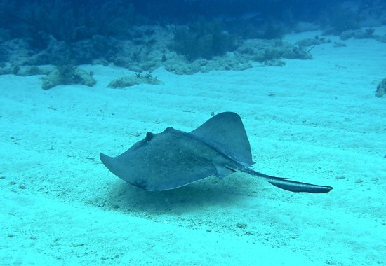 Looe Key Dive Center : A small ray skimming the sand looking for a tiny snack