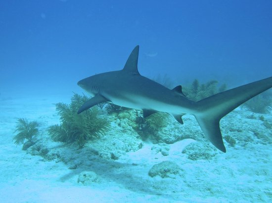 Looe Key Dive Center : The small reef & black tip sharks are a treat to see and never bother our divers or snorkelers