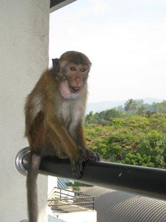 Hotel Thilanka : Visit by a monkey
