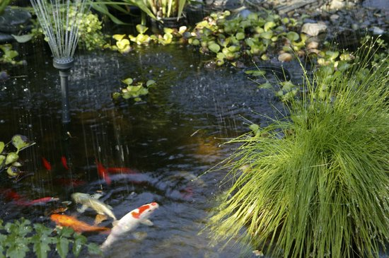 Kelley & Young Wine Garden Inn : Koi ponds