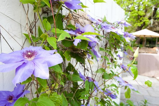 Kelley & Young Wine Garden Inn : Clematis in the garden