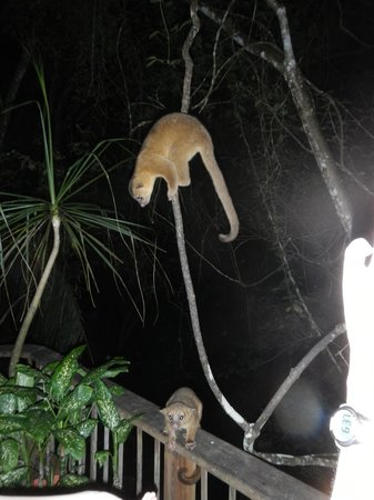 duPlooy's Jungle Lodge: Kinkajous visit at night