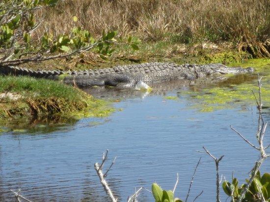 Black Point Wildlife Drive: Alligator working on his tan !