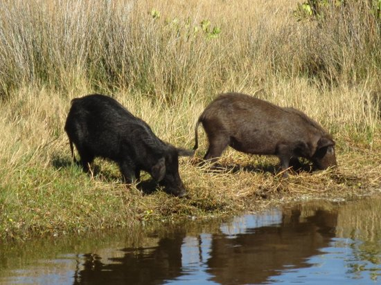 Black Point Wildlife Drive: Wild Hogs