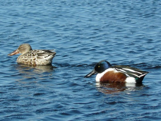 Black Point Wildlife Drive: Shovelers