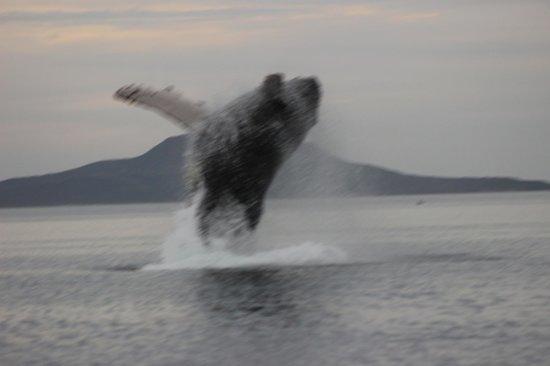 Iguana Inn: Breaching Humpback ~ Sea of Cortez